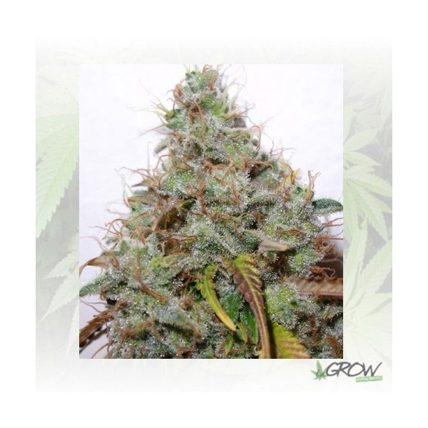 White Berry Paradise Seeds - 5 Seeds