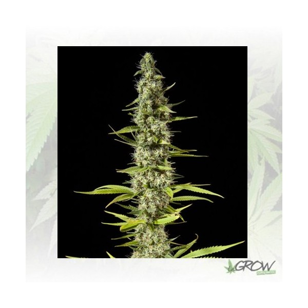 Early Maroc Philosopher Seeds - 1 Seed