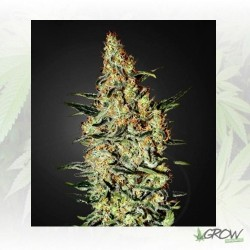 Neville's Haze Green House Seeds - 3 Seeds