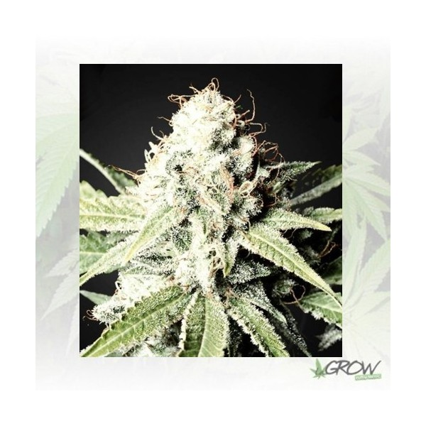 Great White Shark Green House Seeds - 10 Seeds