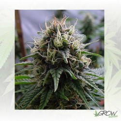 Yummy Resin Seeds - 3 Seeds