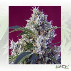 Indigo Berry Kush® Sweet Seeds - 5 Seeds