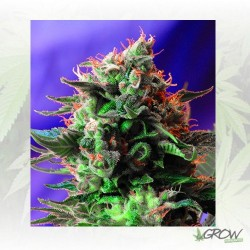 Jack 47 F1 Fast Version® Sweet Seeds - 5 Seeds