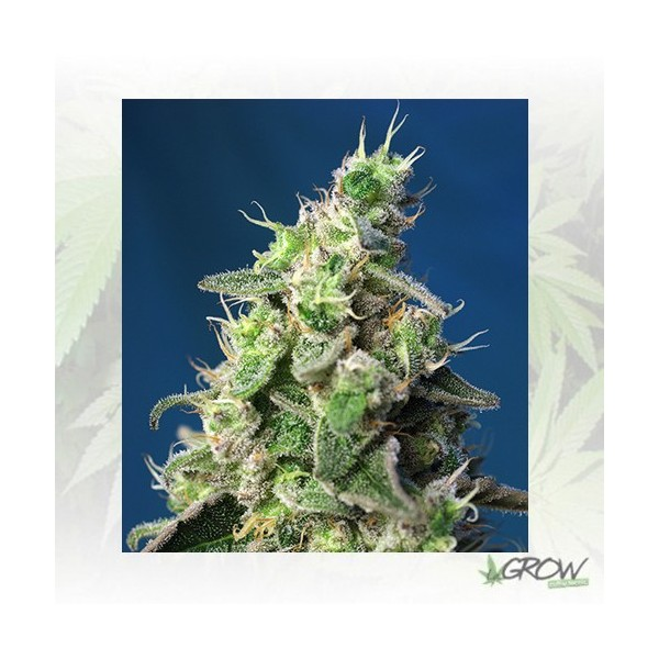 Green Poison XL Auto® Sweet Seeds - 3 Seeds