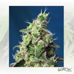Green Poison XL Auto® Sweet Seeds - 5 Seeds