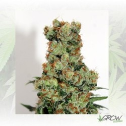 Ripper BadAzz Regular Ripper Seeds - 12 Seeds