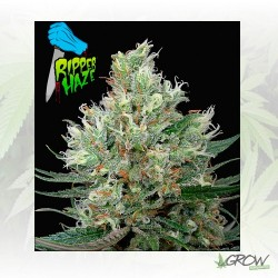 Ripper Haze Ripper Seeds - 3 Seeds