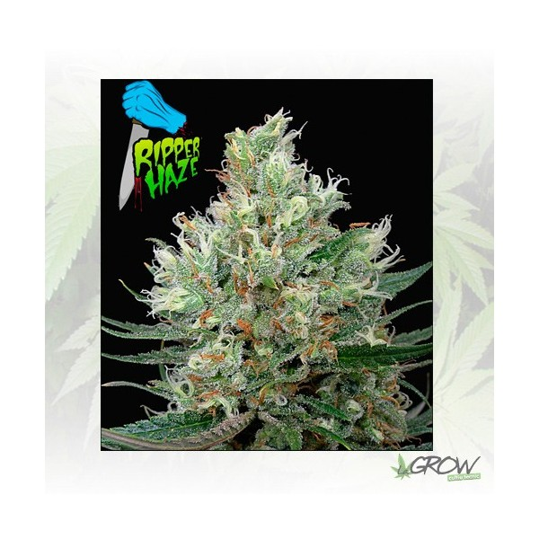 Ripper Haze Ripper Seeds - 5 Seeds