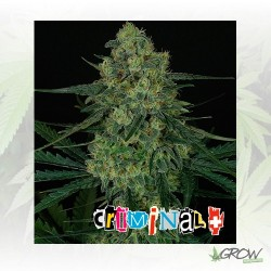 Criminal+ Ripper Seeds - 3 Seeds