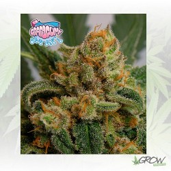 Grapegum Ripper Seeds - 5 Seeds