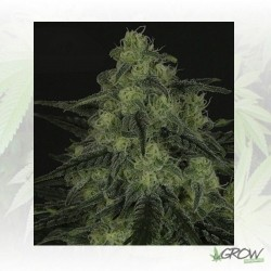BlackValley Ripper Seeds - 5 Seeds