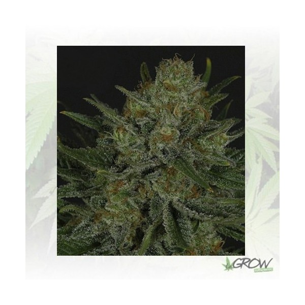 Double Glock Ripper Seeds - 1 Seed