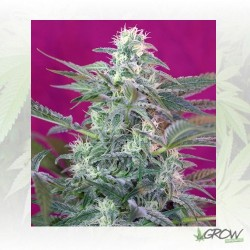 Big Foot Sweet Seeds - 5 Seeds