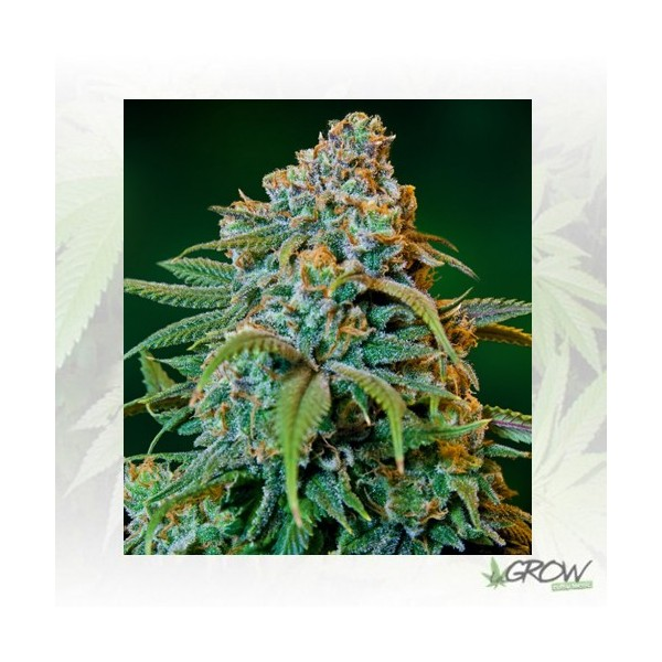 Liberty Haze Barney's Farm - 10 Seeds