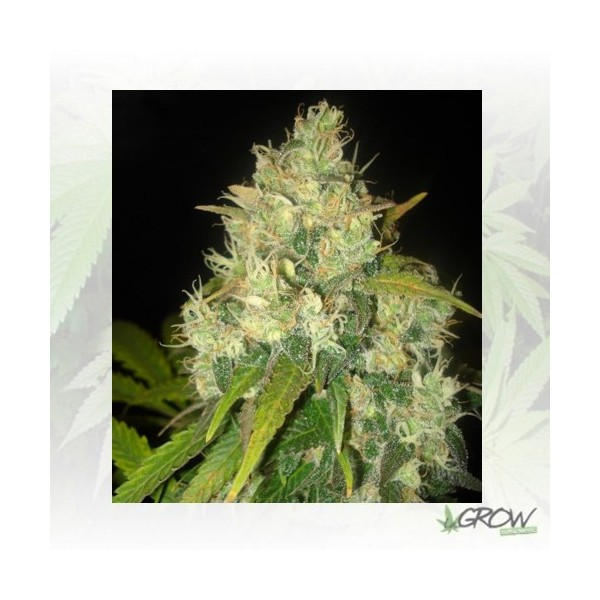 Black Russian Delicious Seeds - 3 Seeds