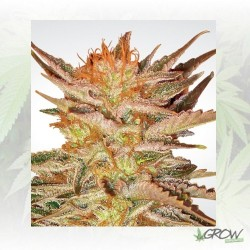 Ice Cream Paradise Seeds - 5 Seeds