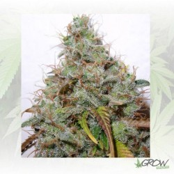White Berry Paradise Seeds - 10 Seeds
