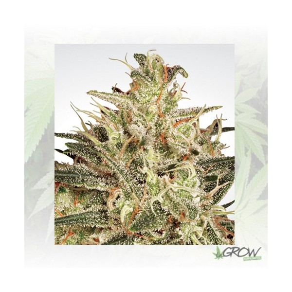 Atomical Haze Paradise Seeds - 3 Seeds