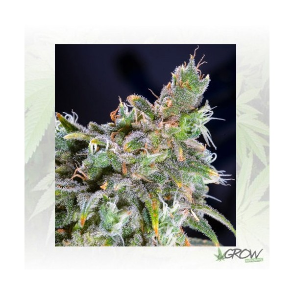 Magic Bud Paradise Seeds - 3 Seeds
