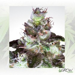 Original White Widow Paradise Seeds - 5 Seeds