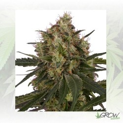 Ice Royal Queen Seeds - 3 Seeds