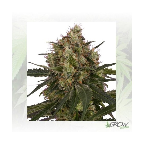 Ice Royal Queen Seeds - 5 Seeds