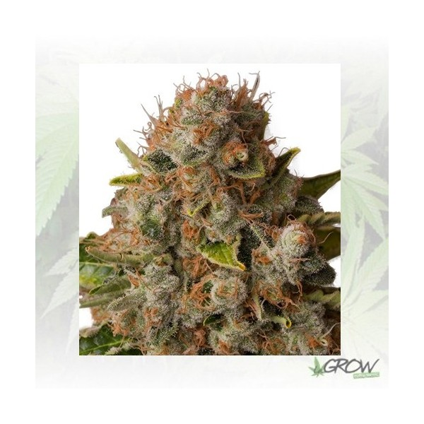 White Widow Royal Queen Seeds - 5 Seeds