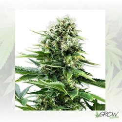 Power Flower Royal Queen Seeds - 1 Seed