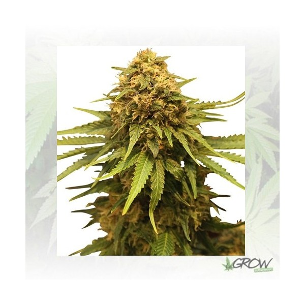Critical Royal Queen Seeds - 1 Seed