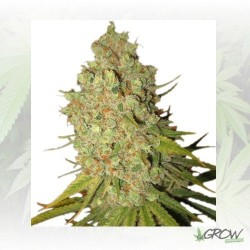 Special Kush 1 Royal Queen Seeds - 3 Seeds