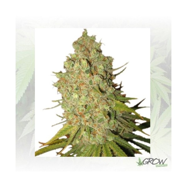 Special Kush 1 Royal Queen Seeds - 10 Seeds