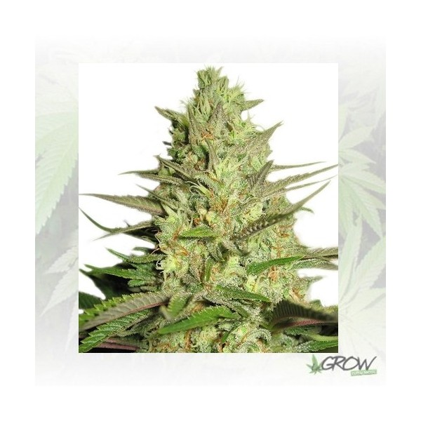 Special Queen 1 Royal Queen Seeds - 1 Seed