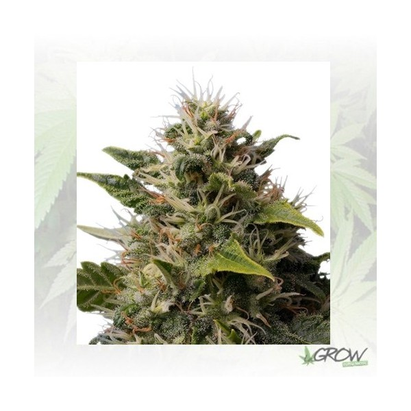Royal Moby Royal Queen Seeds - 3 Seeds