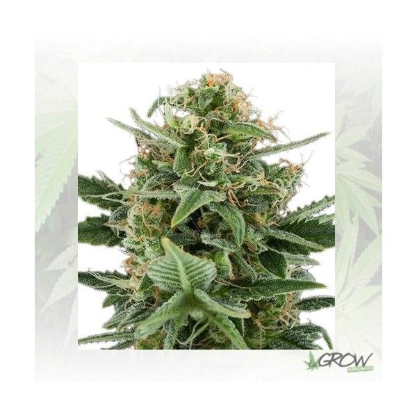 Royal Dwarf Royal Queen Seeds - 5 Seeds