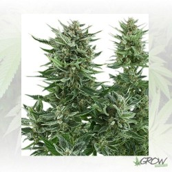 Easy Bud Auto Royal Queen Seeds - 10 Seeds