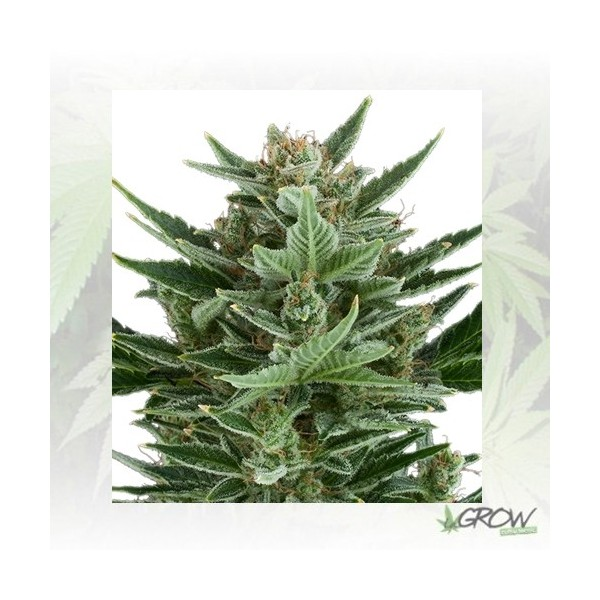 Quick One Royal Queen Seeds - 1 Seed