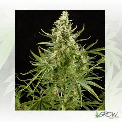 Royal Critical Auto Royal Queen Seeds - 5 Seeds