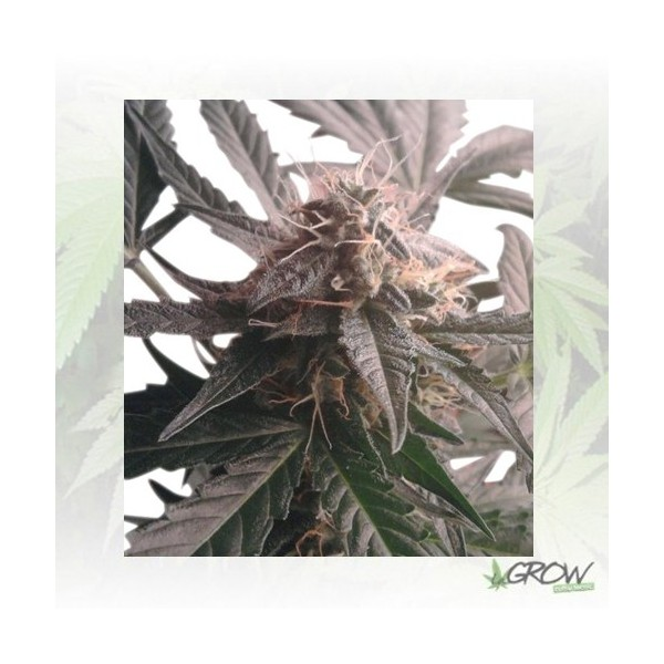 Northern Light Auto Royal Queen Seeds - 1 Seed