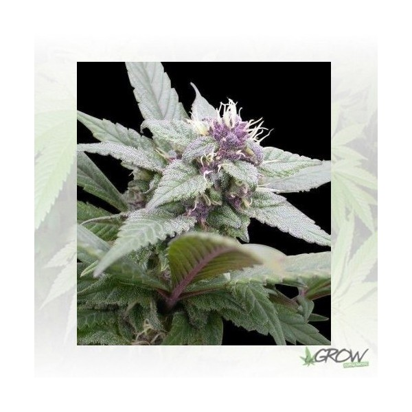 Royal Bluematic Royal Queen Seeds - 3 Seeds
