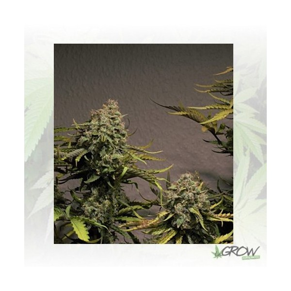 Blue Cheese Auto Royal Queen Seeds - 1 Seed
