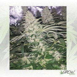 Critical Kush Royal Queen Seeds - 1 Seed