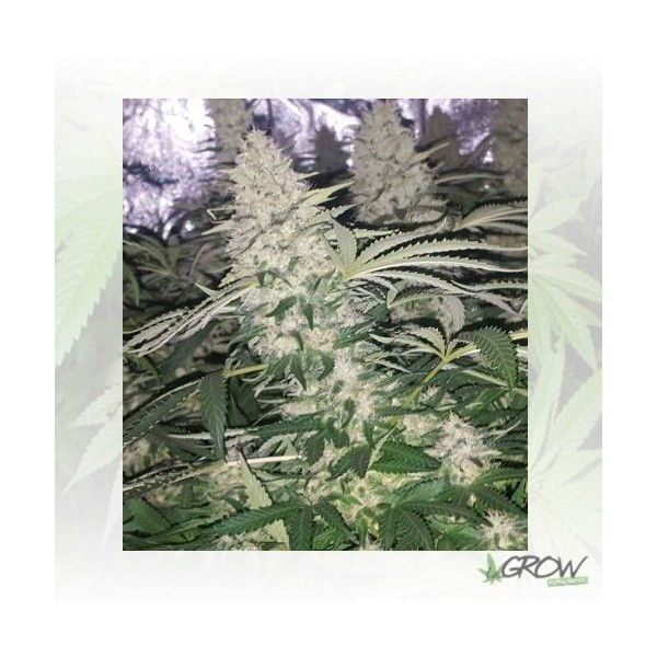 Critical Kush Royal Queen Seeds - 10 Seeds