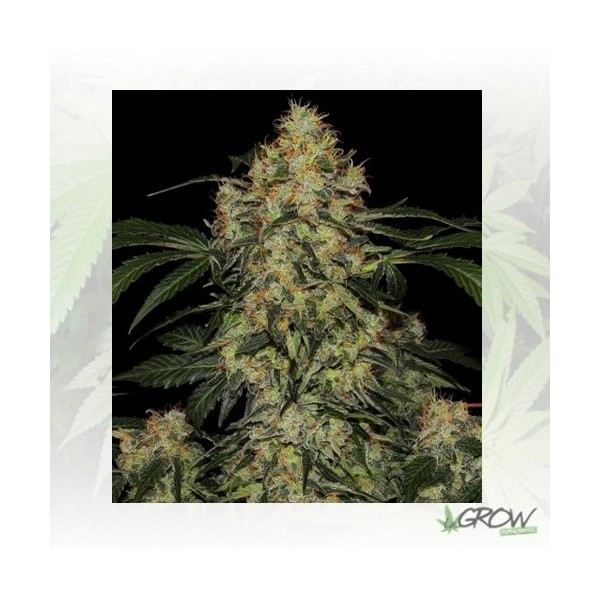 Blue Kush Berry Paradise Seeds - 5 Seeds