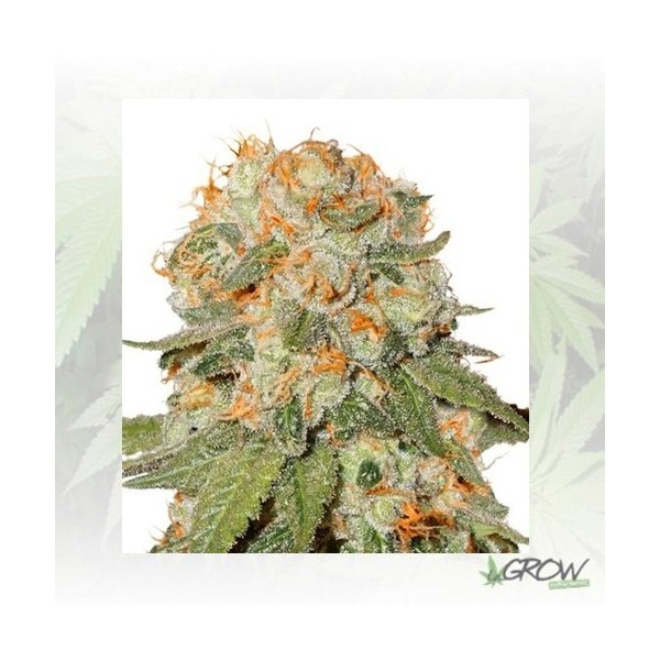 Orange Bud® Dutch Passion - 5 Seeds