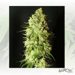 Cannatonic Resin Seeds - 5 Seeds