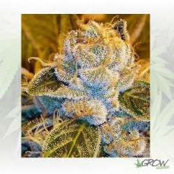 Sour Ripper Ripper Seeds - 1 Seeds