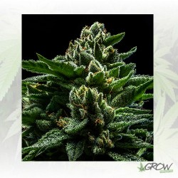 DO-G Ripper Seeds - 3 Seeds