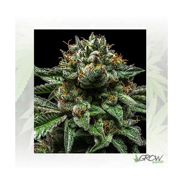 ChemPie Ripper Seeds - 3 Seeds