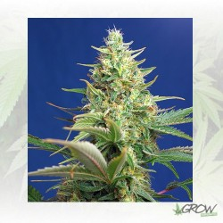 Sweet Pure Auto CBD® Sweet Seeds - 3 Seeds