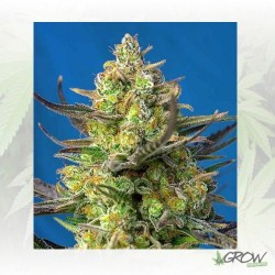 Sweet Cheese XL Auto® Sweet Seeds - 3 Seeds